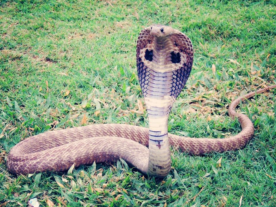 soñar con cobra