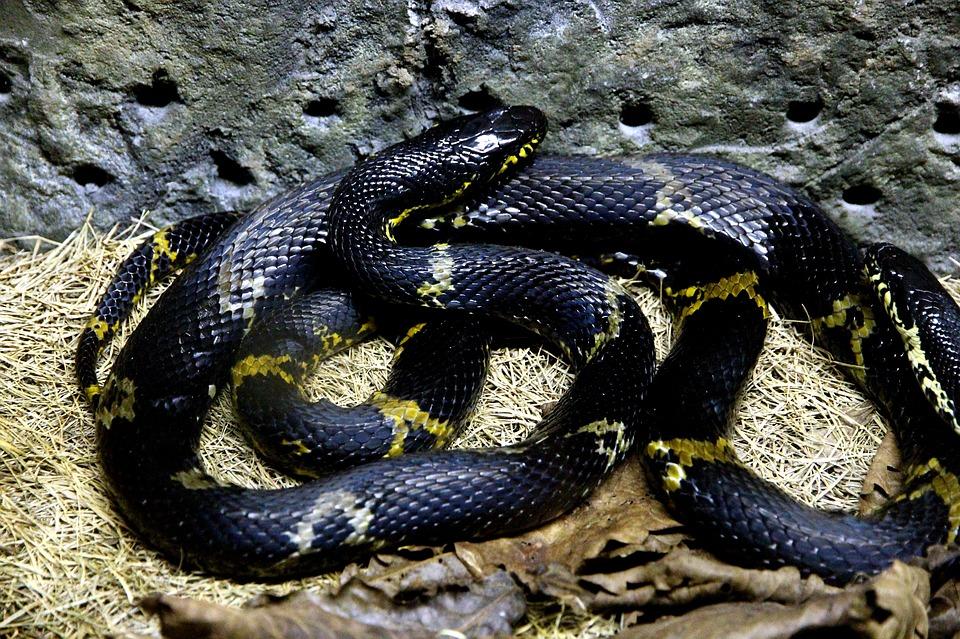 soñar con serpientes negras