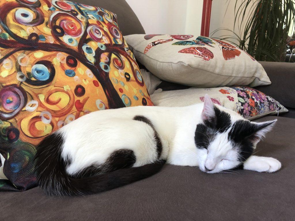 soñar con gato negro y blanco