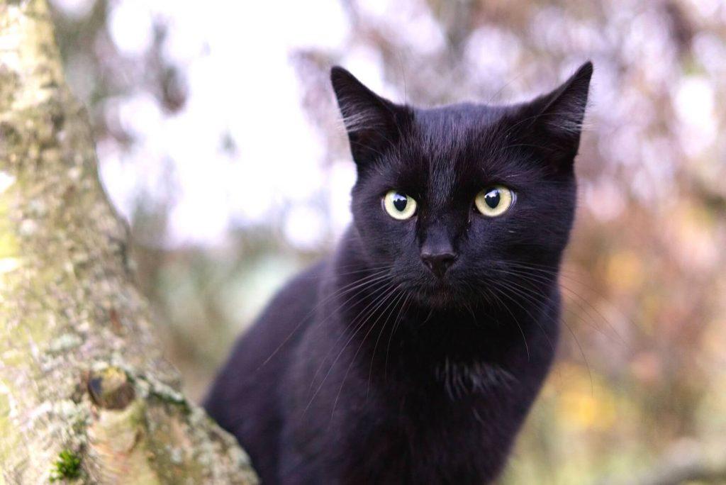 que significa soñar con gato negro